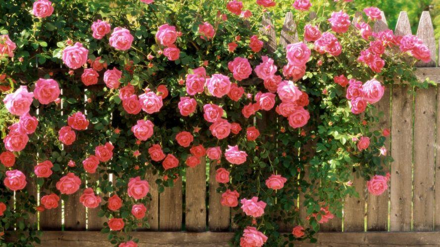 roses pink flowers wallpaper