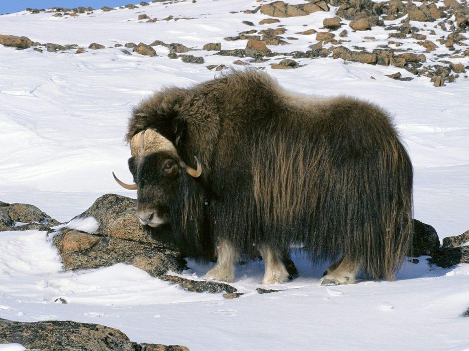 snow animals wildlife Alaska arctic national Musk-Ox wallpaper