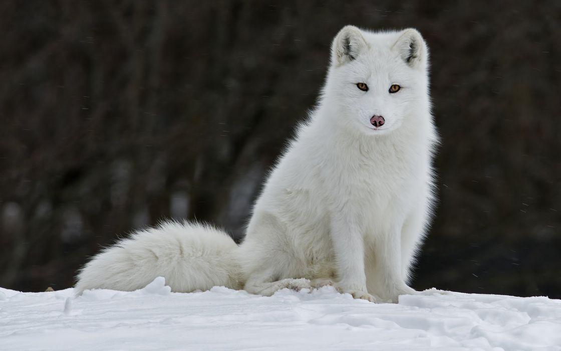 Fox Snow winter    d wallpaper