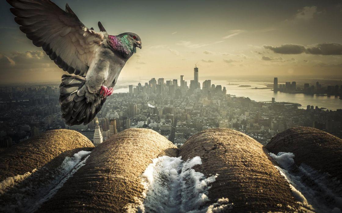 Pigeon Bird New York Buildings Skyscrapers wallpaper