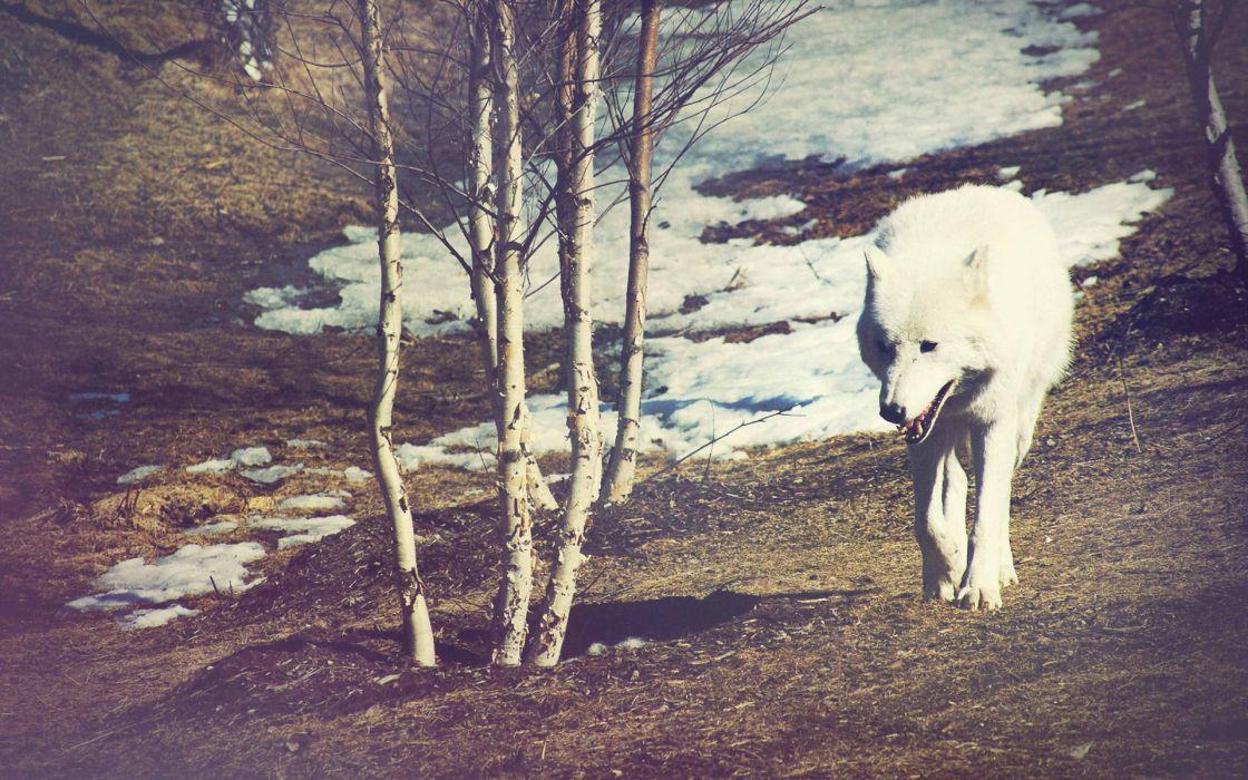 Wolf Warm wallpaper