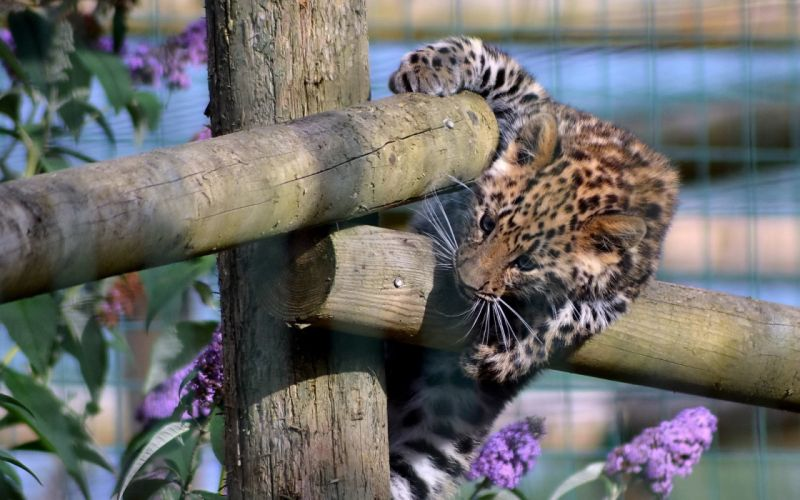 fences animals cubs leopards purple flowers baby animals wooden fence wallpaper