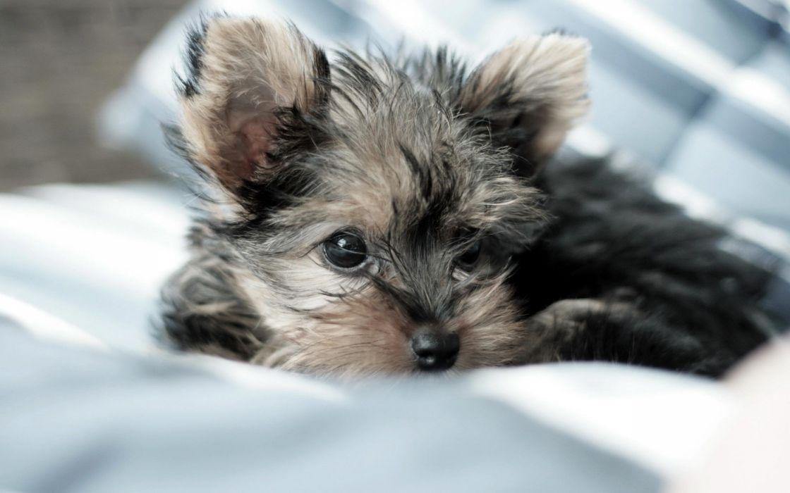 animals puppies Yorkshire Terrier pets wallpaper