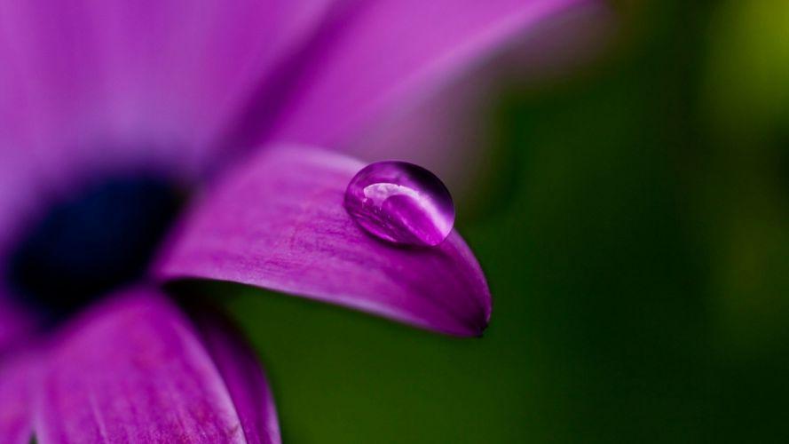 nature water drops purple flowers wallpaper