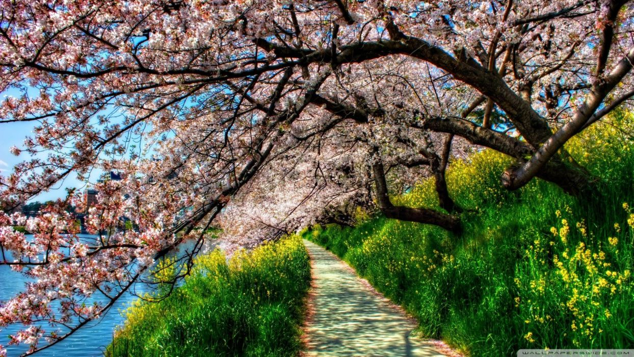 nature trees flowers spring flowered trees wallpaper