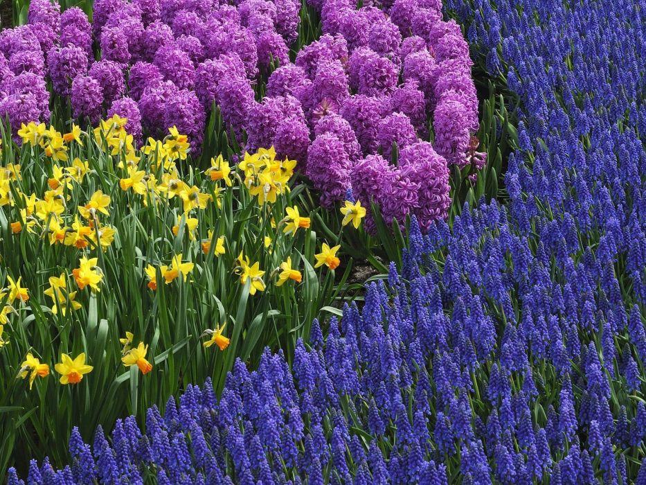 nature flowers daffodils hyacinths wallpaper