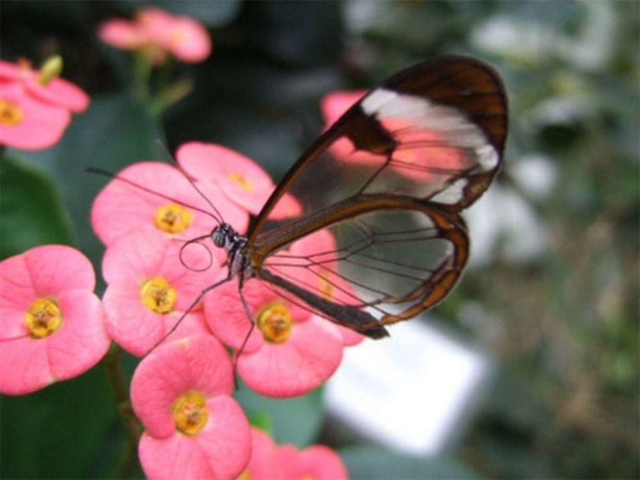 Glasswing Butterfly butterflies wallpaper
