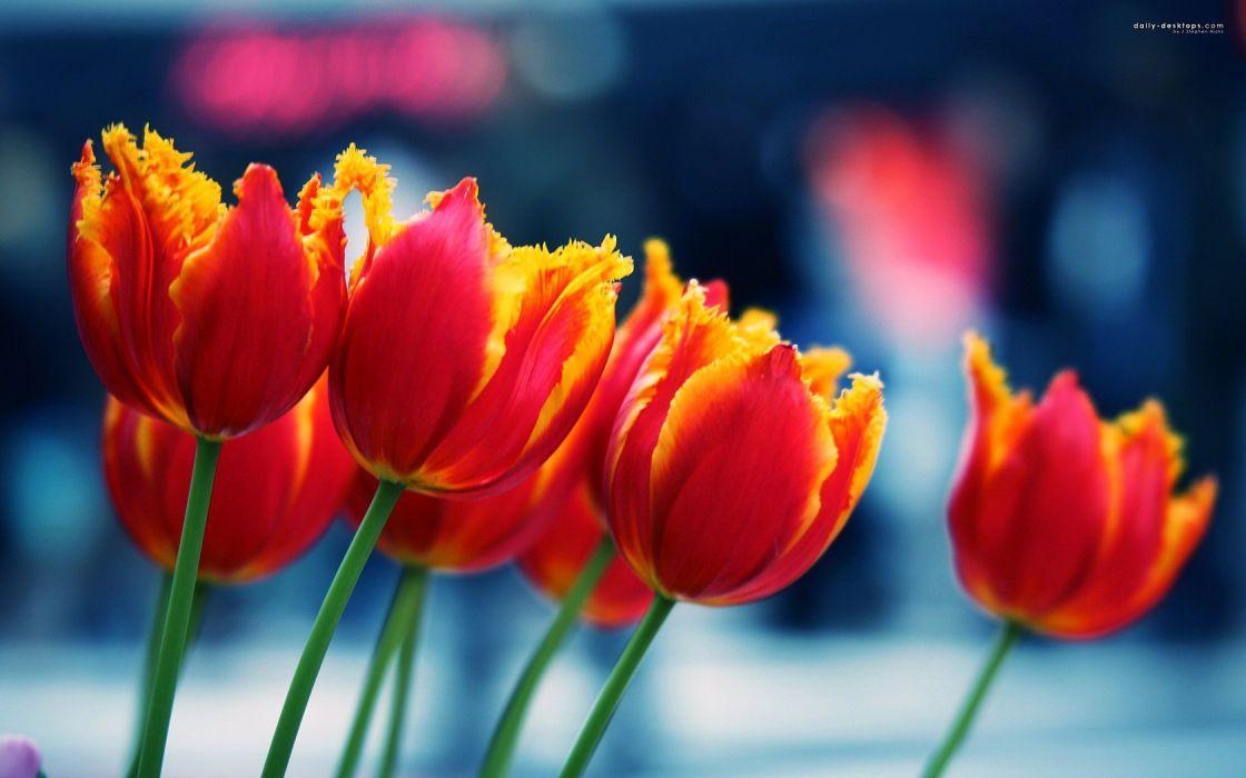 nature flowers tulips wallpaper