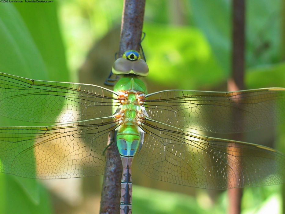nature insects dragonflies wallpaper