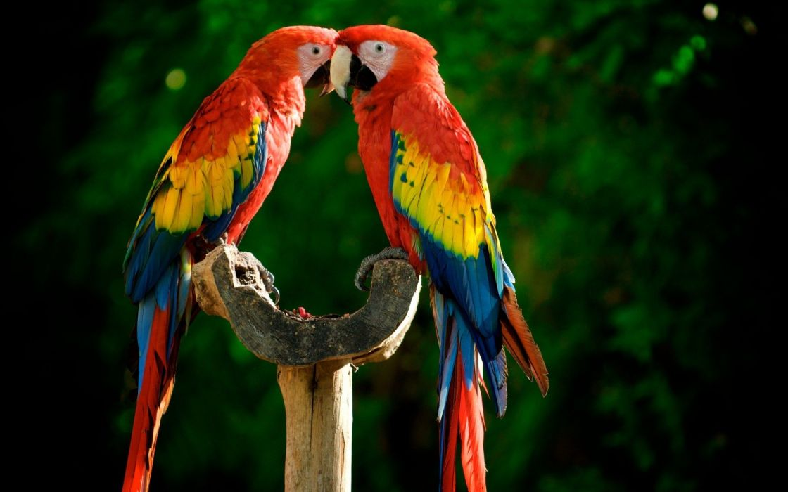 birds parrots Scarlet Macaws wallpaper