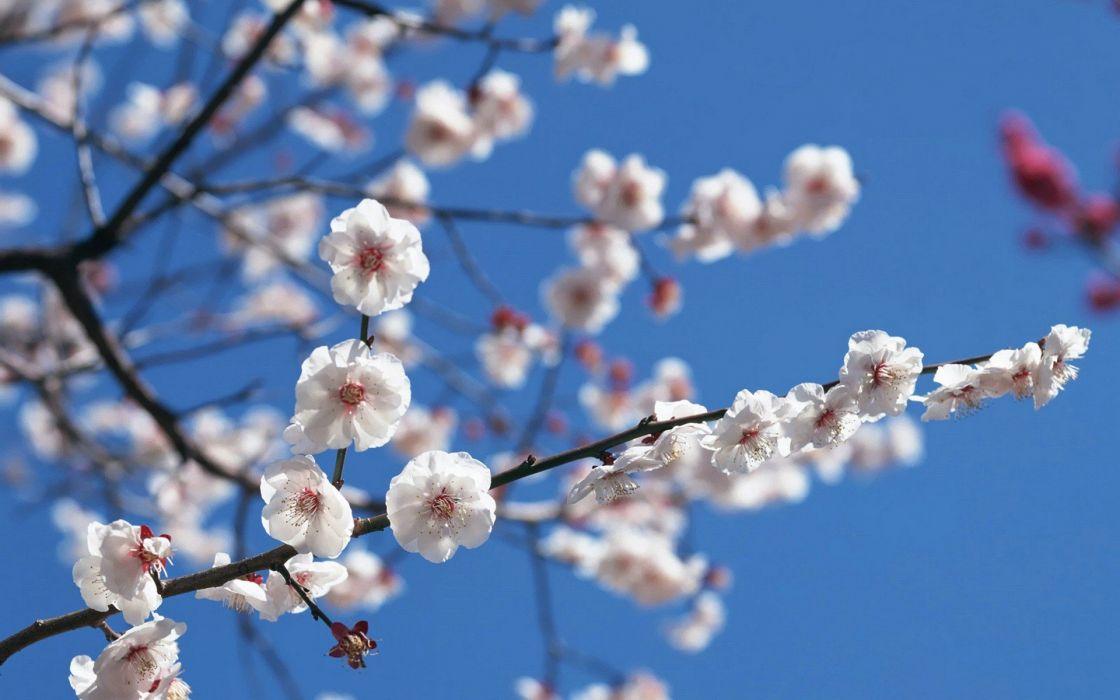 Japan cherry blossoms flowers spring white flowers wallpaper