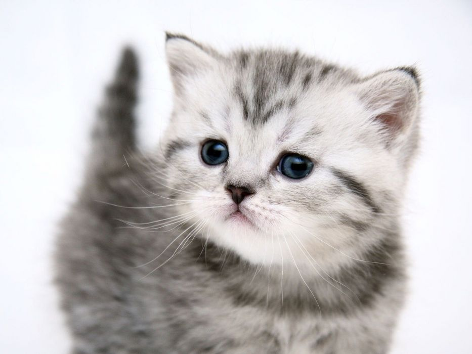 White Cats Blue Eyes Kittens Wallpaper