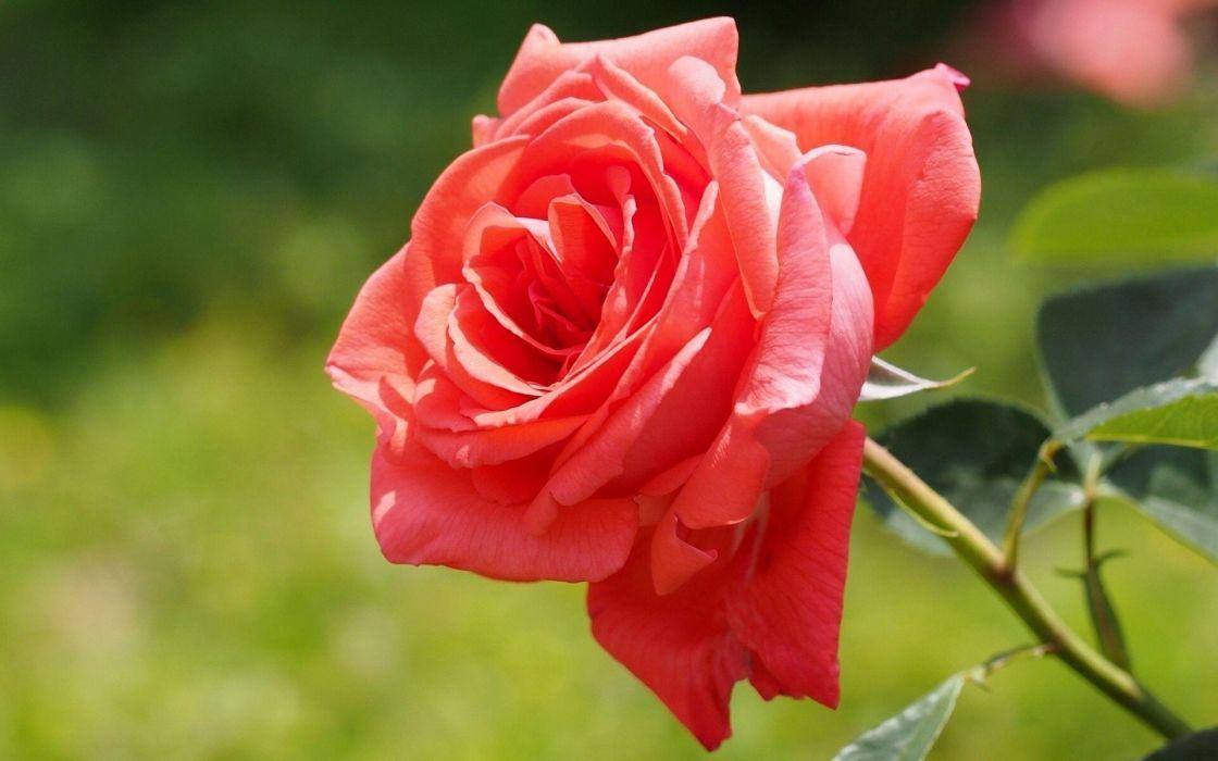 flowers roses red roses wallpaper
