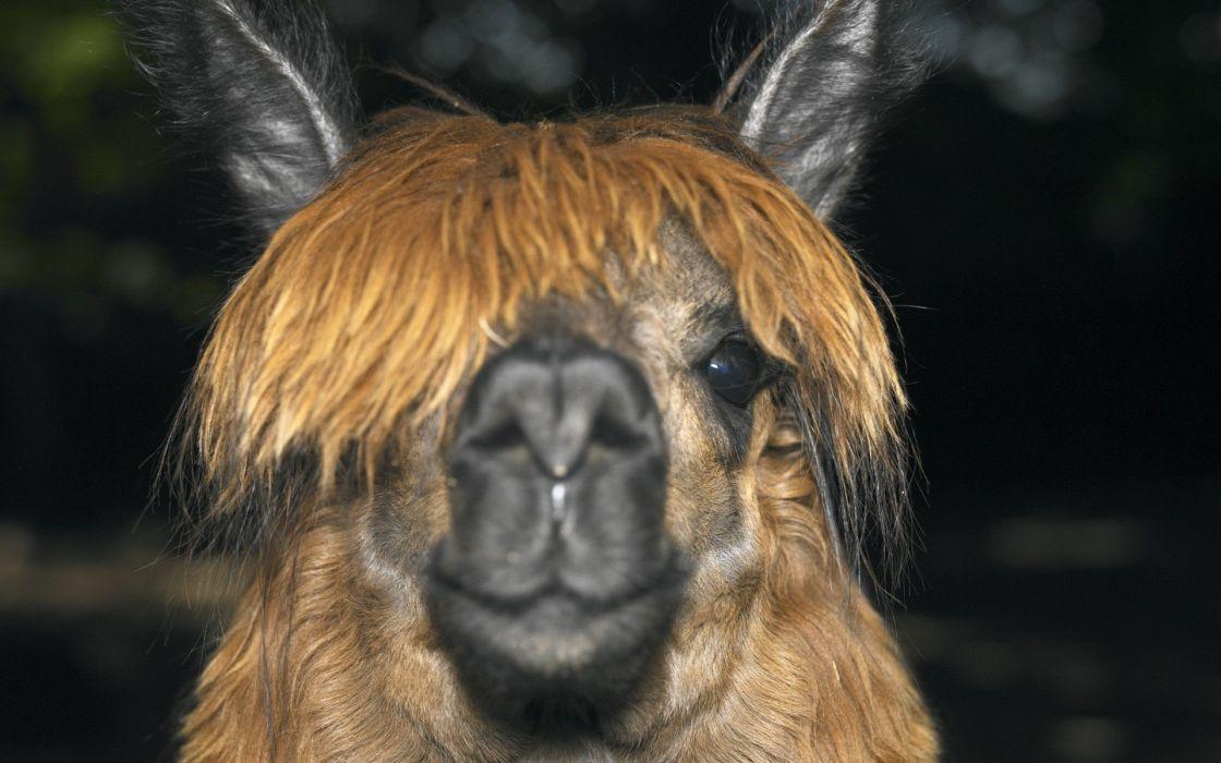 animals llama wallpaper