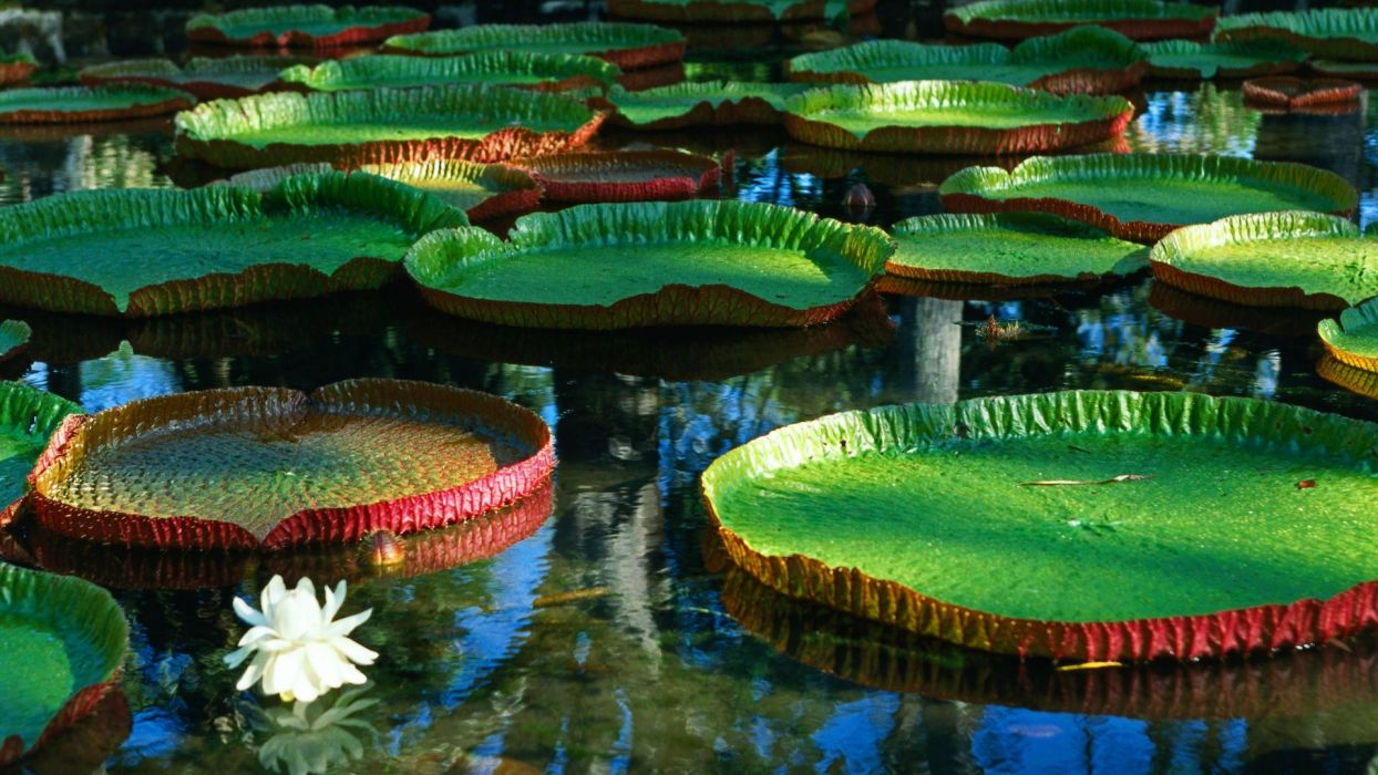water flowers giant water lilies wallpaper