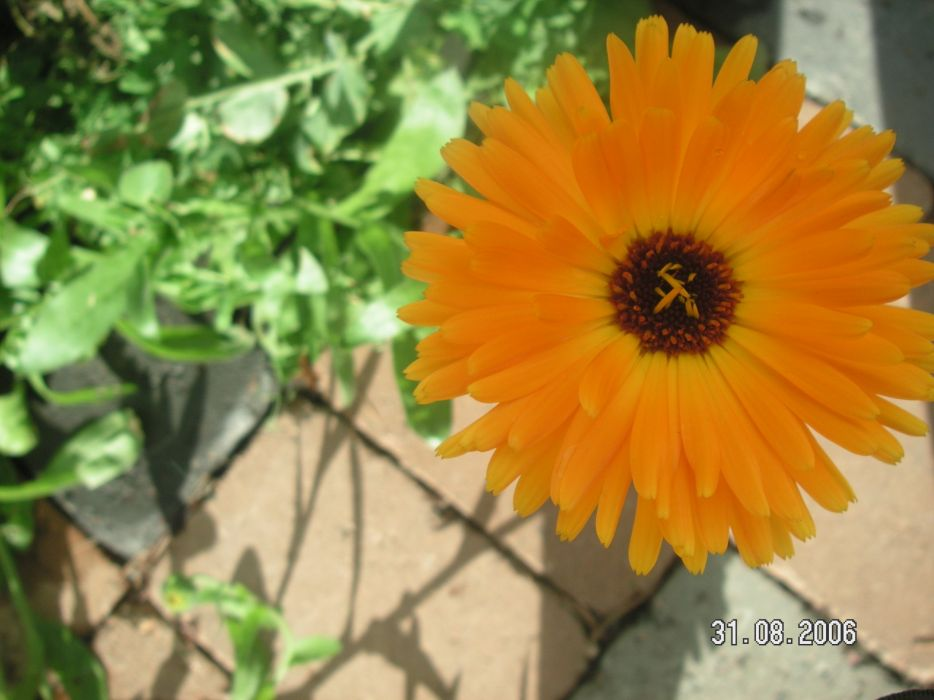 flowers marigold orange flowers wallpaper