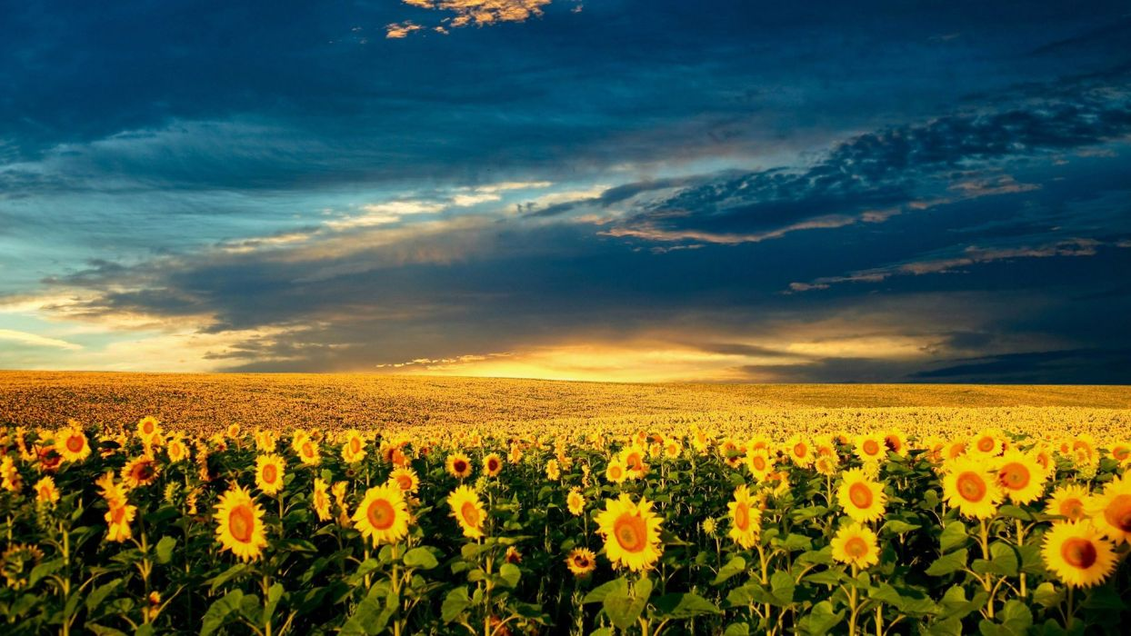 fields skyscapes sunflowers wallpaper