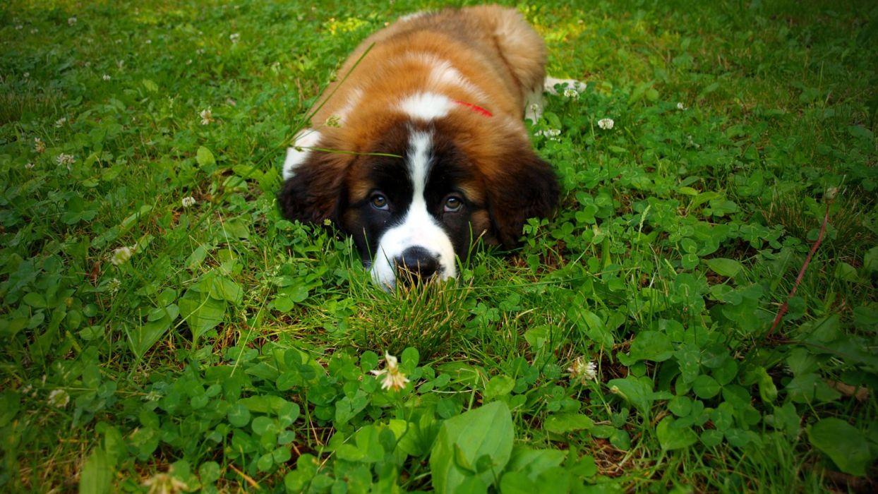 Bella on the grass wallpaper