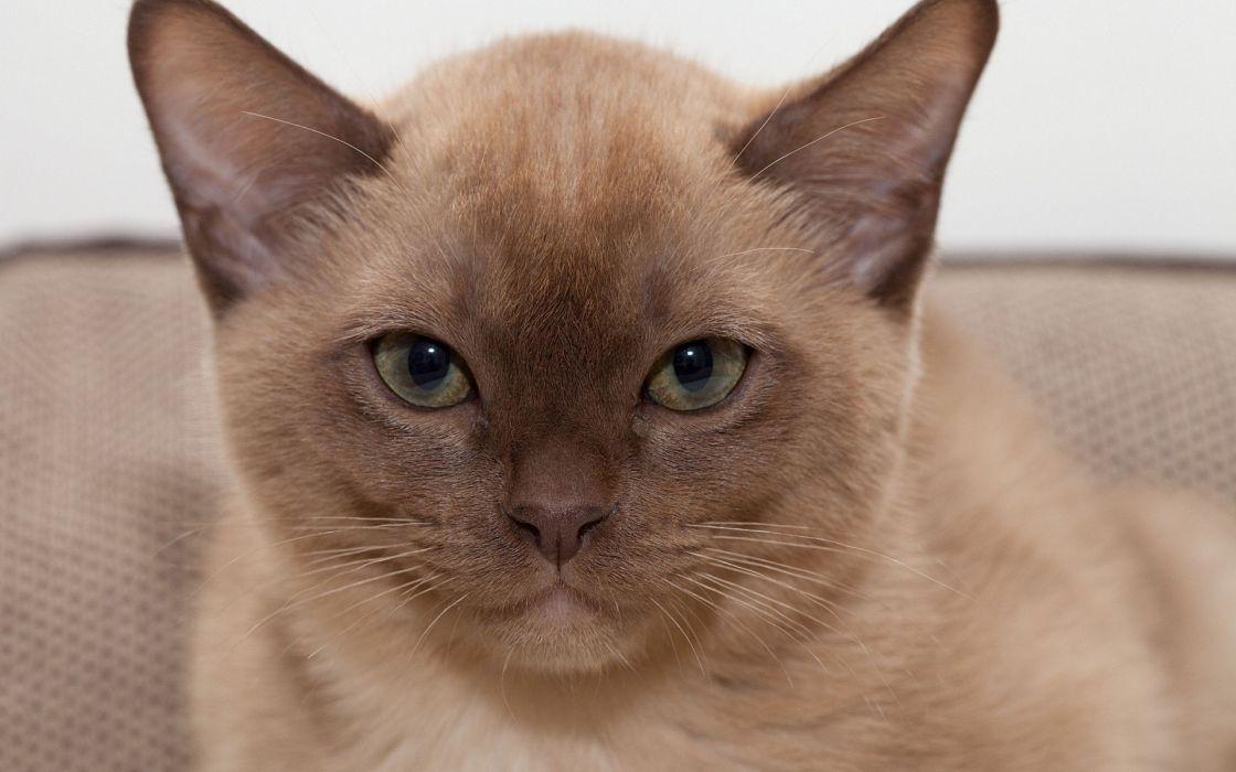 cats pets muzzle portraits Burmanskaya cat wallpaper