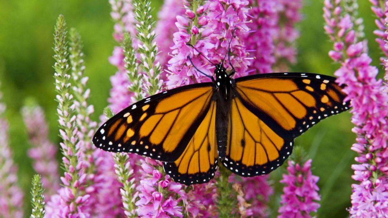 Canada plants monarch butterflies wallpaper