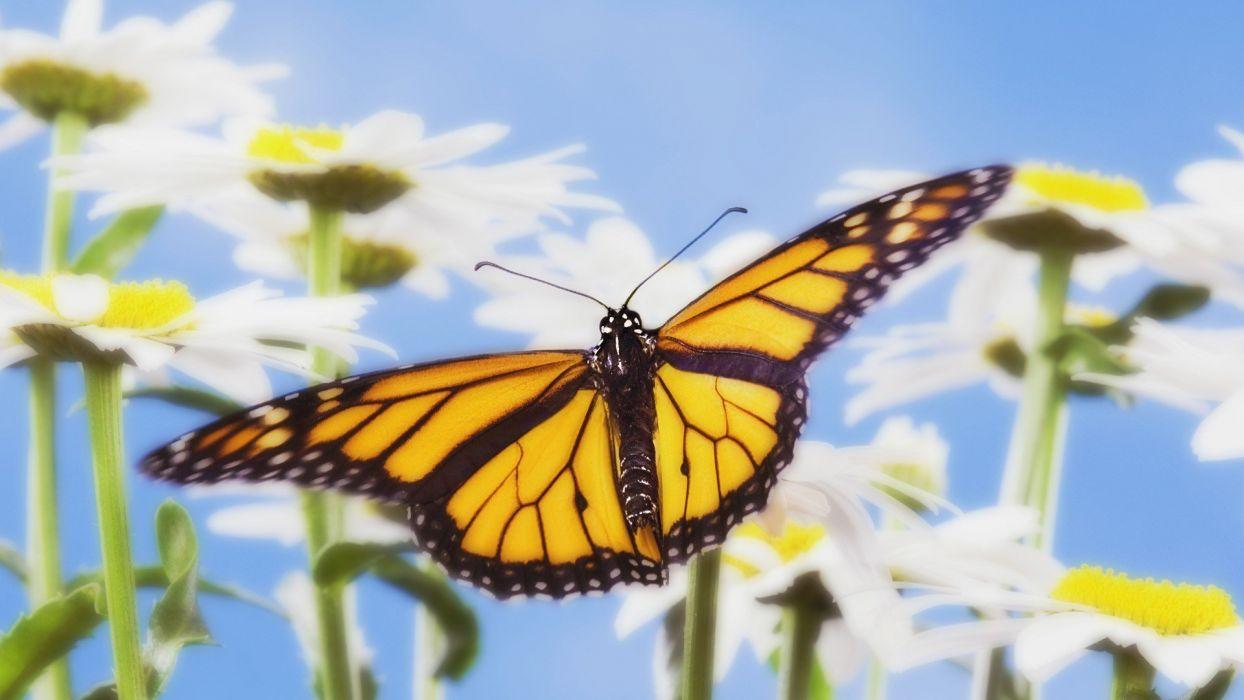 monarch butterflies wallpaper