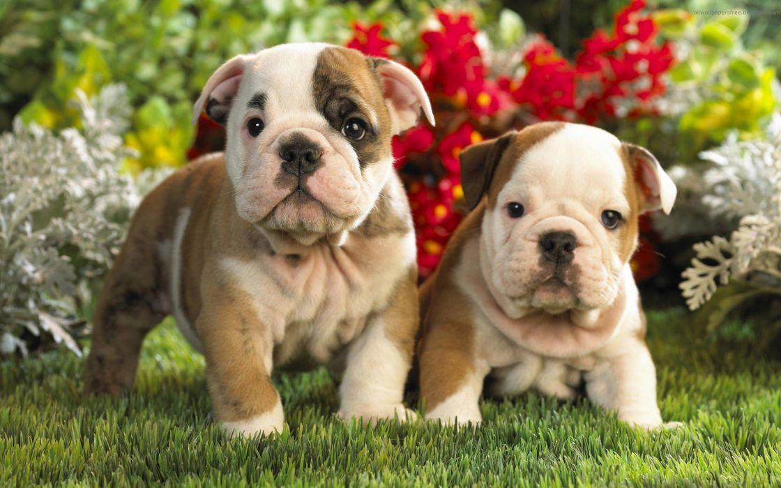 animals dogs puppies bulldog english bulldog wallpaper