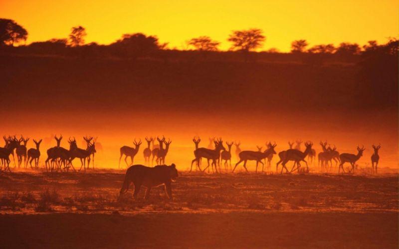 landscapes animals silhouettes sunlight lions gazelle wallpaper