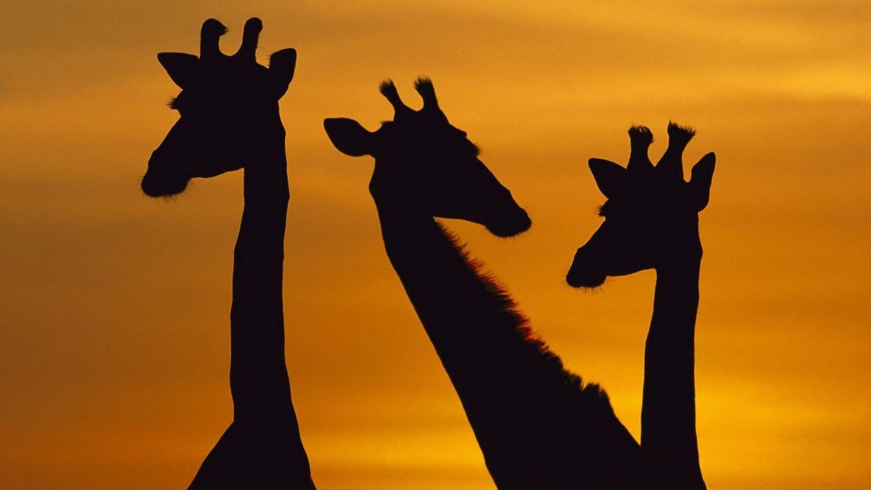 dawn National Park giraffes wallpaper
