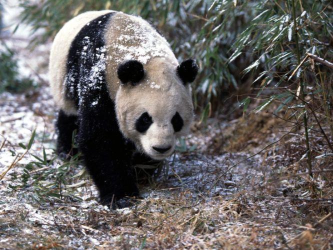 snow animals panda bears wallpaper