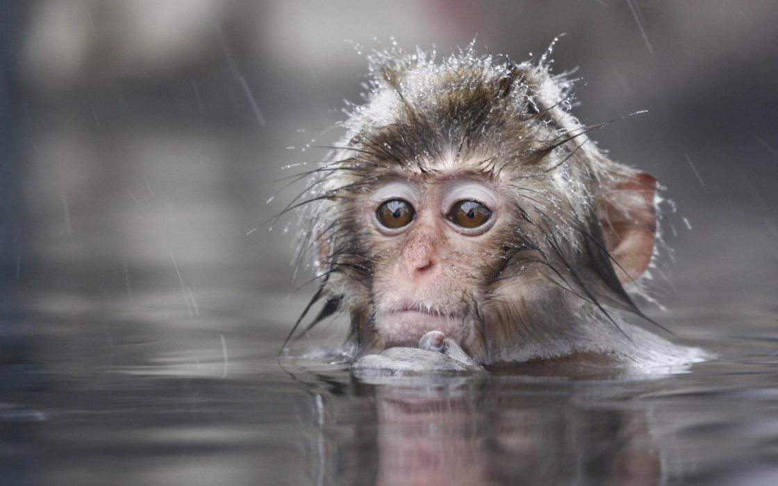 animals wet monkeys primates macaques Japanese Macaque wallpaper