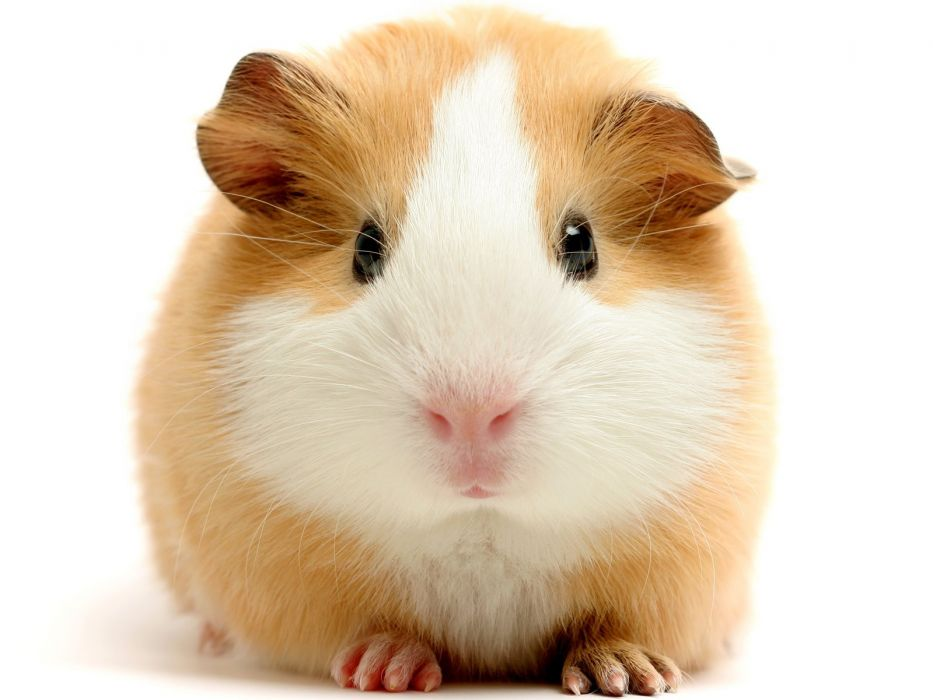 animals guinea pigs wallpaper