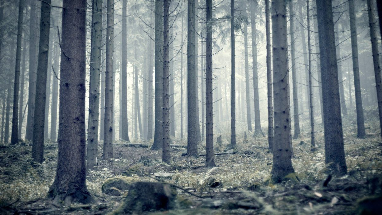nature trees forests pine trees wallpaper