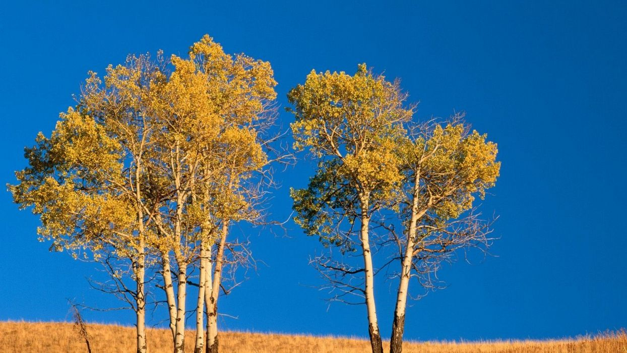 landscapes trees autumn Wyoming Yellowstone Aspen National Park wallpaper