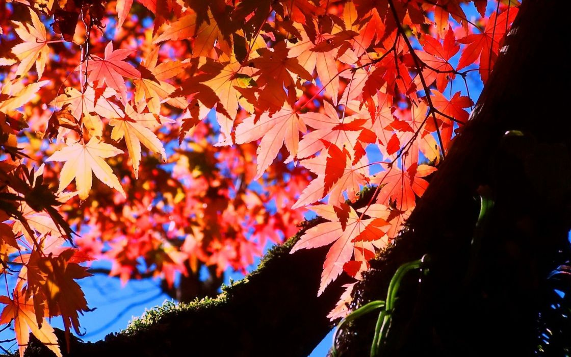 nature autumn leaves maple leaf wallpaper