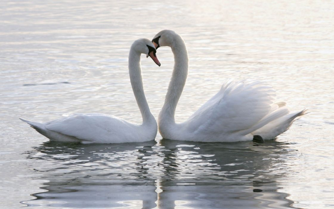 birds animals swans lovers two wallpaper