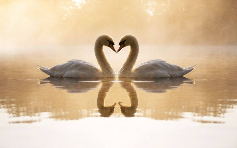 birds swans lakes reflections loving wallpaper