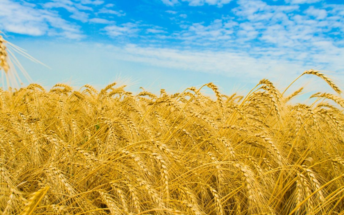 nature wheat golden wallpaper