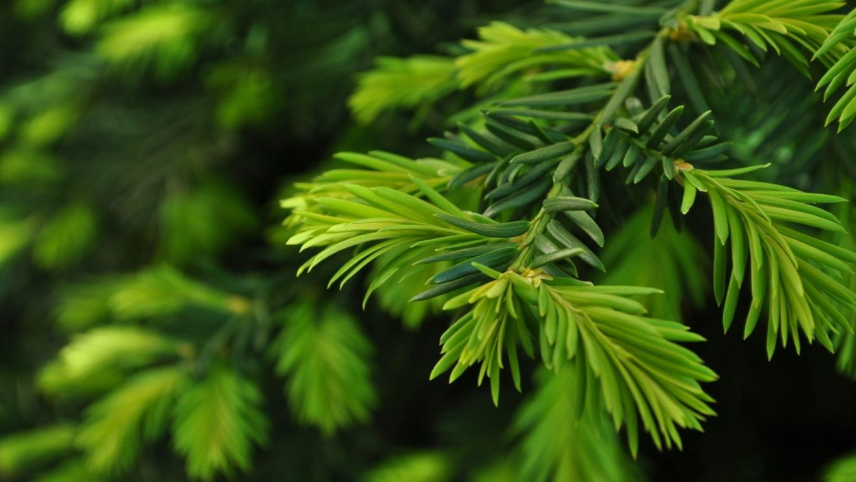 Green Nature Trees Christmas Trees Pine Trees Wallpaper