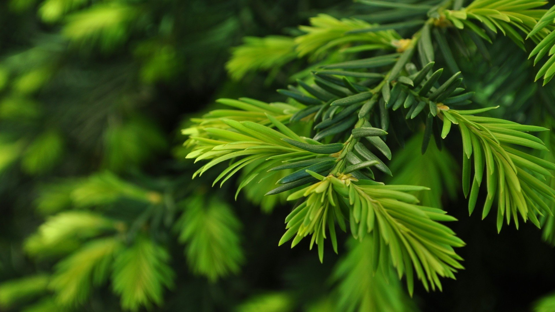 Green Nature Trees Christmas Pine Wallpaper