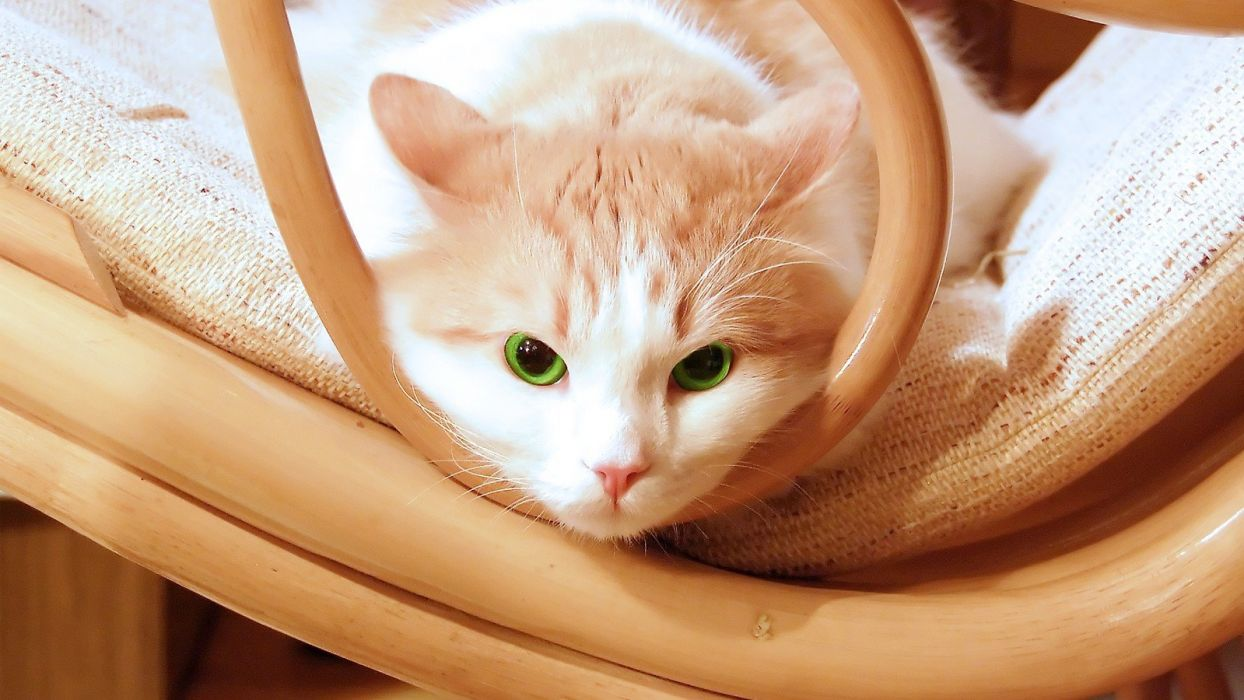 cats animals green eyes chairs kittens wallpaper