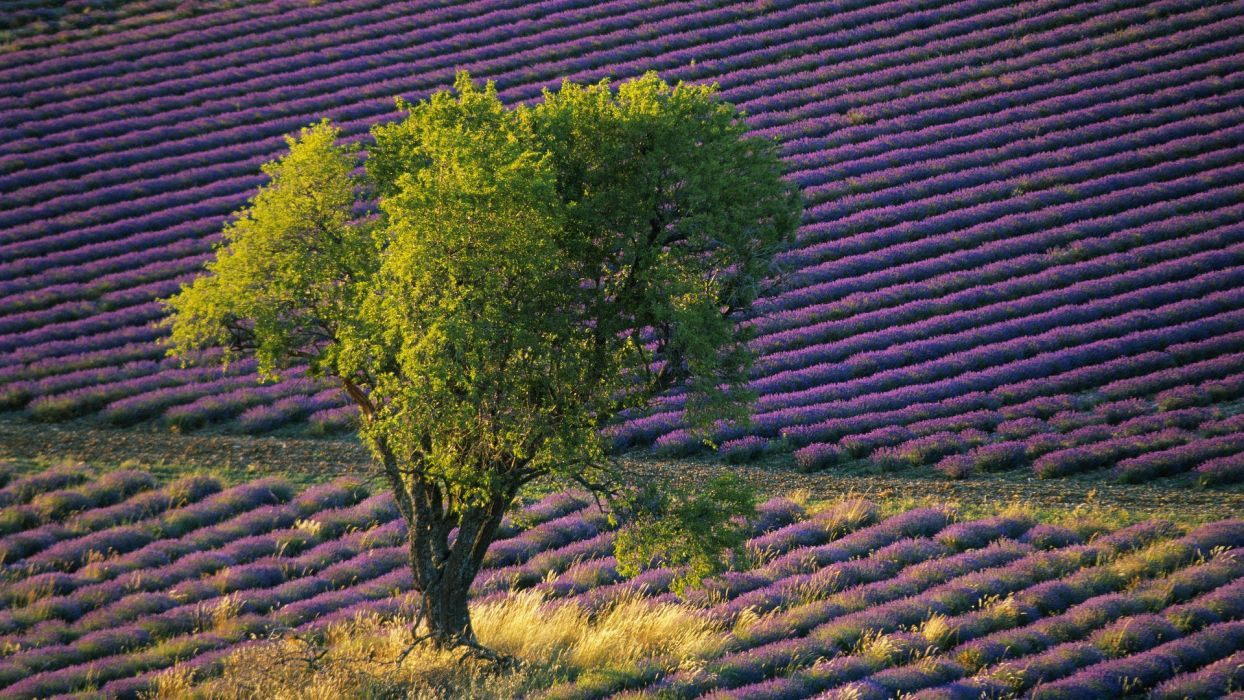flowers fields lavender purple flowers wallpaper