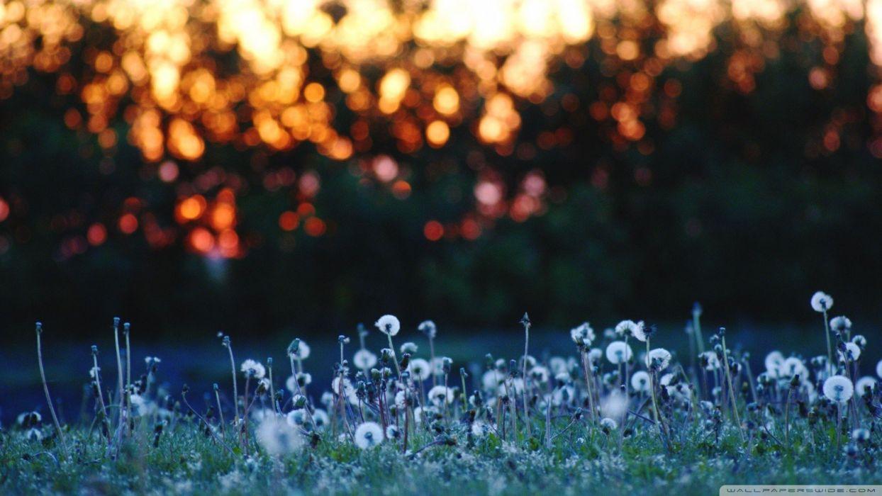 nature flowers meadows bokeh dandelions wallpaper