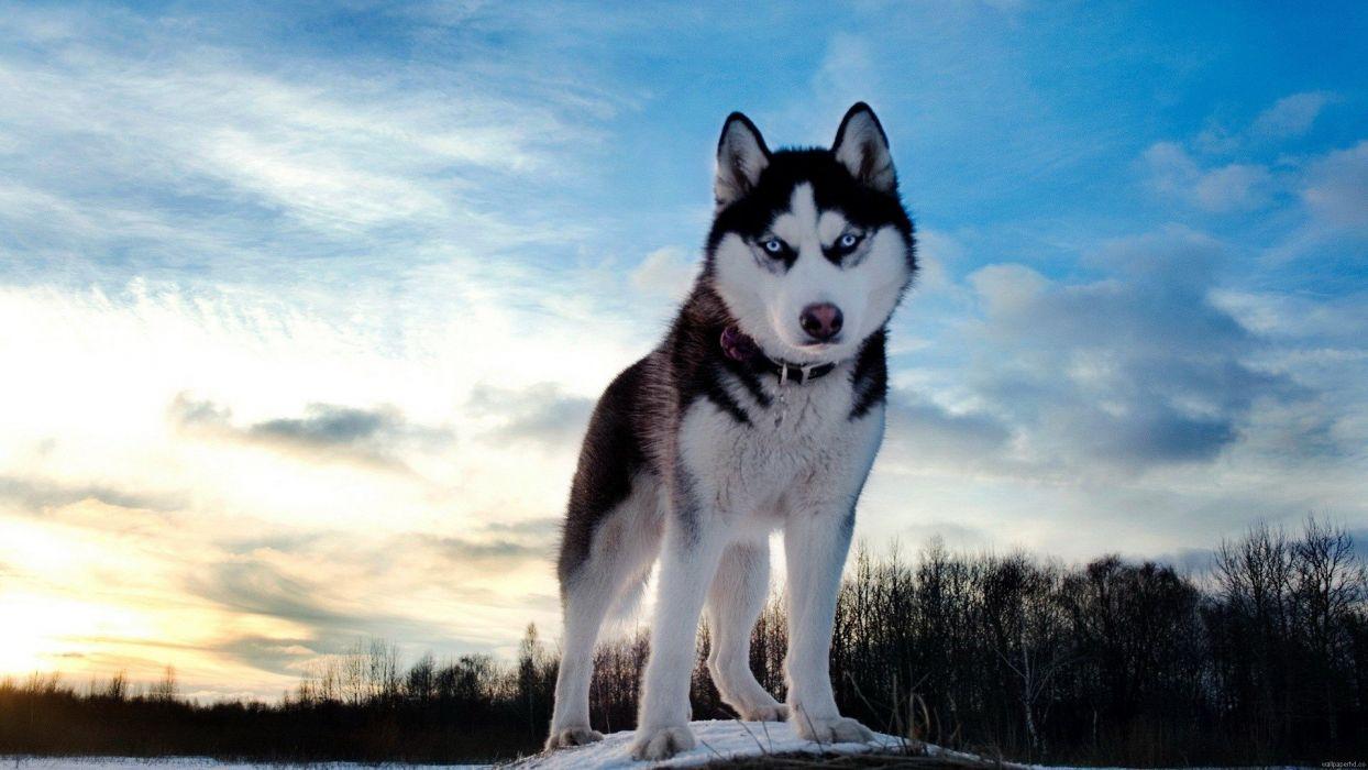 dogs pets huskies wallpaper