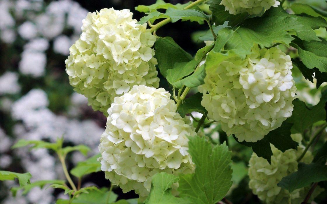 flowers white flowers Hydrangeas wallpaper