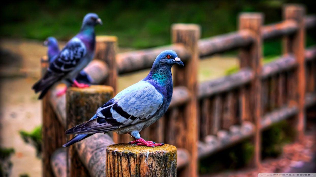 fences birds pigeons wallpaper