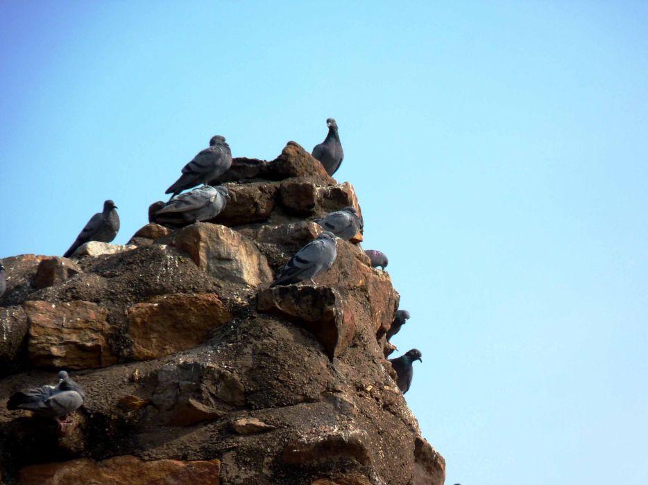 pigeons wallpaper