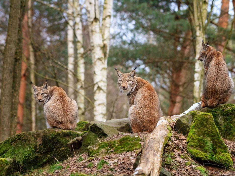 animals lynx lions wild cats wallpaper