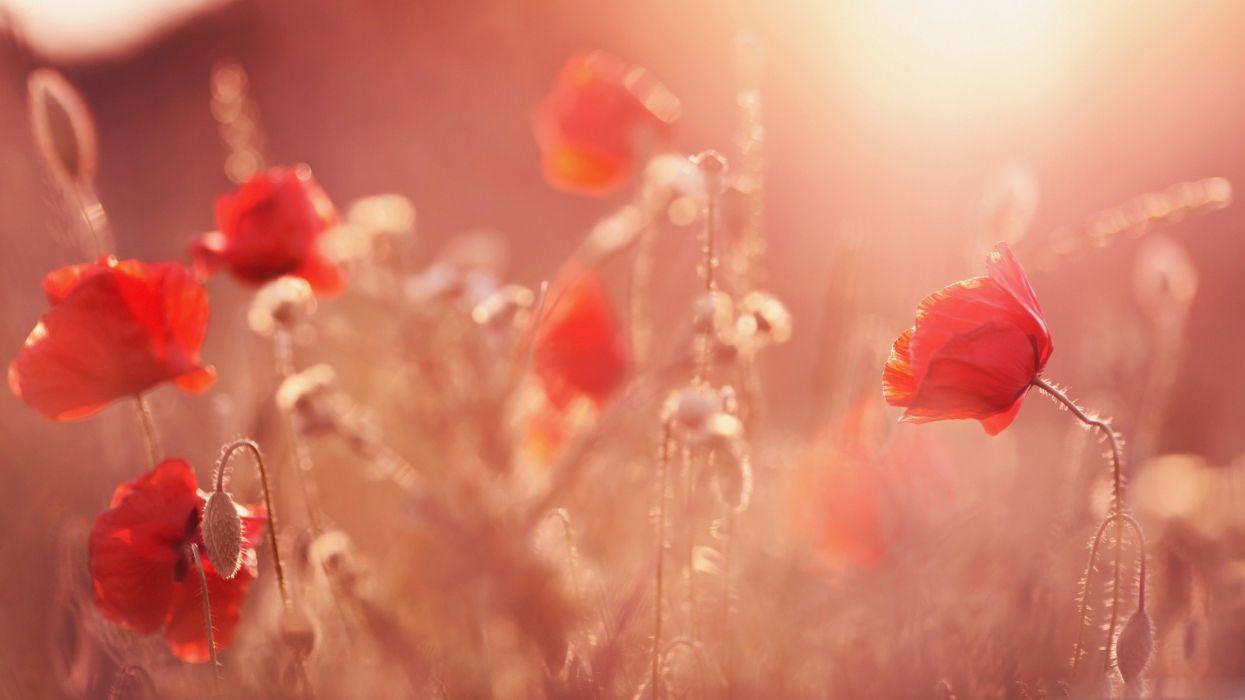 artistic flowers poppy wallpaper