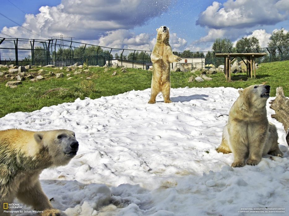 nature snow animals National Geographic zoo polar bears The Netherlands wallpaper