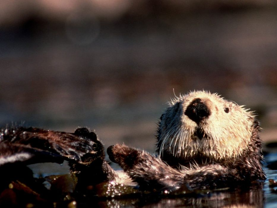 back Alaska otters wallpaper
